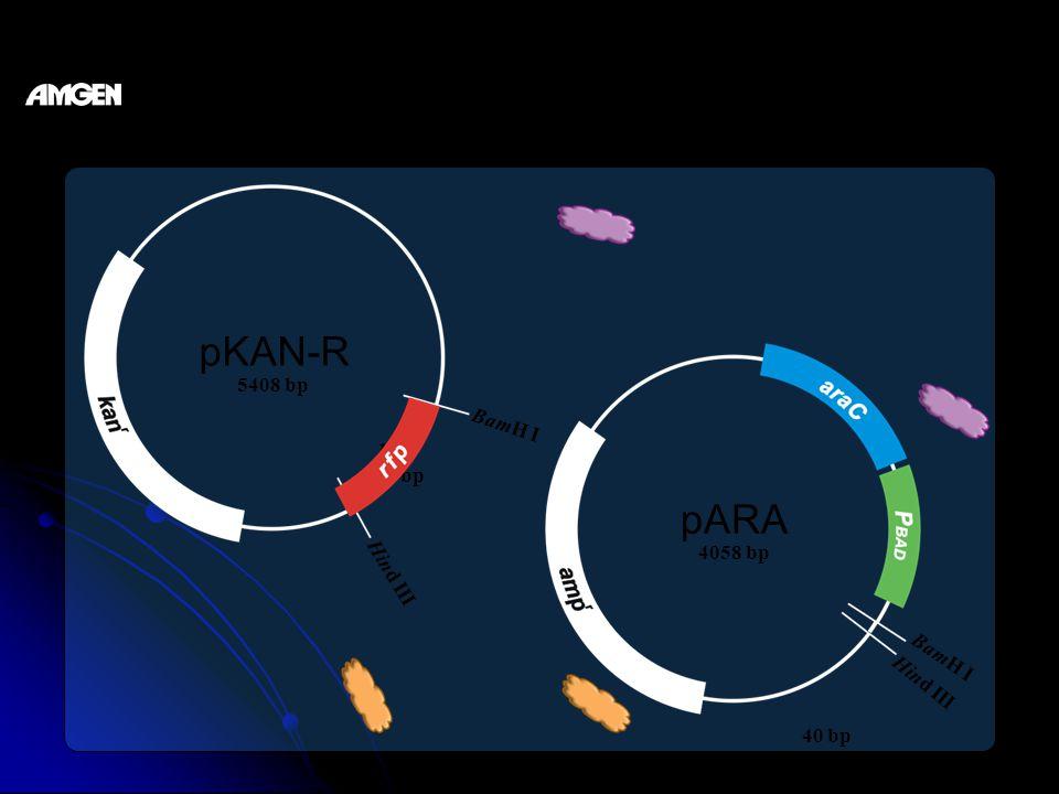 restriction analysis of pKAN-R and pARA pKAN-R pARA BamH I Hind III BamH I Hind III rfp 702 bp 5408 bp 4058 bp 40 bp
