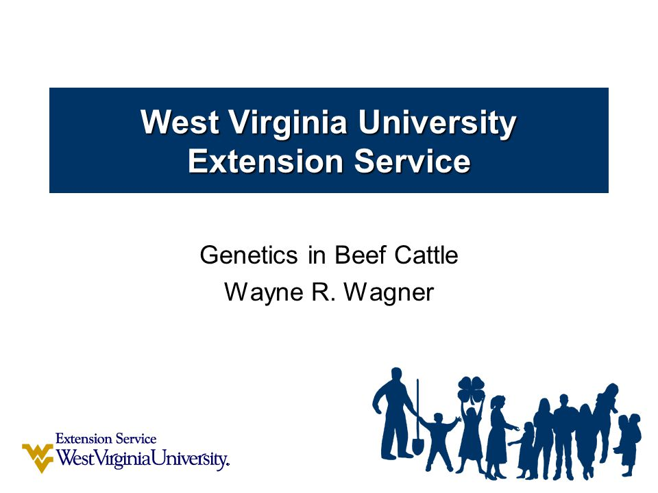 West Virginia University Extension Service A Beef Animal's Phenotype is completely determined by: 1)It's genetic makeup  Cattle have 30 pairs of chromosomes  Genes located on chromosomes transmitted from parent to offspring  Genes code for production of proteins/enzymes