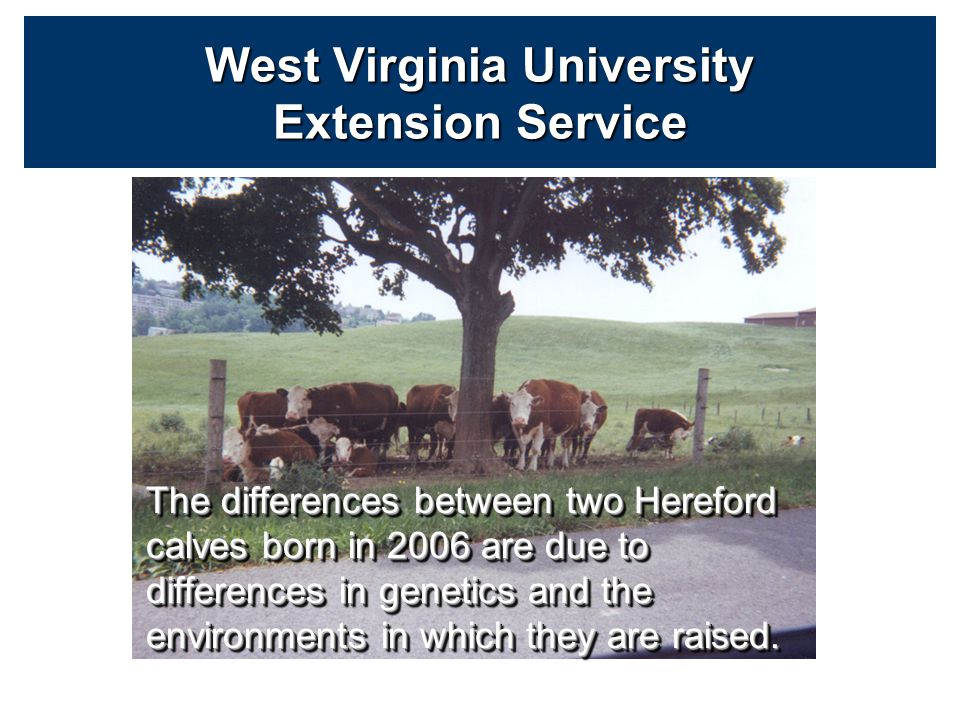 Beef producers keep records on various traits (Calving Ease, Weaning Weight, Yearling Weight, Scrotal circumference, IMF, REA) –These records are adjusted for known sources of variation so differences are due to genetics and unknown Environment → improves accuracy West Virginia University Extension Service