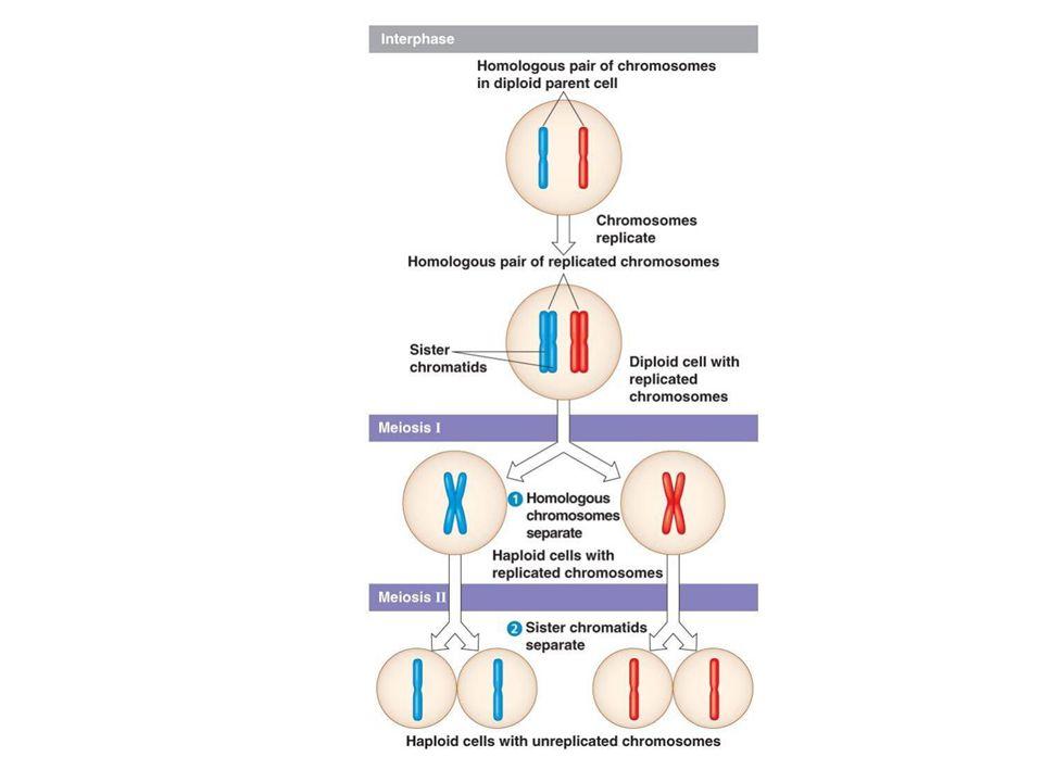What is n for the cells shown here? A.1 B.2 C.3 D.4 E.5 Human cells → n = 23