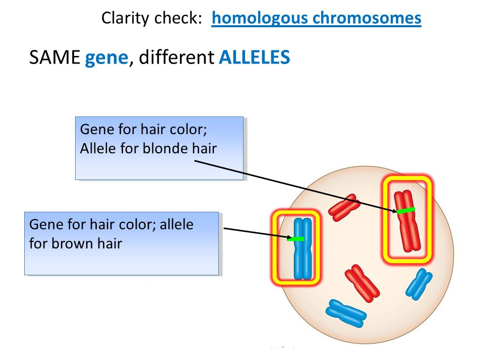 Clarity check: homologous chromosomes SAME gene, different ALLELES Gene for hair color; Allele for blonde hair Gene for hair color; Allele for blonde hair Gene for hair color; allele for brown hair Gene for hair color; allele for brown hair