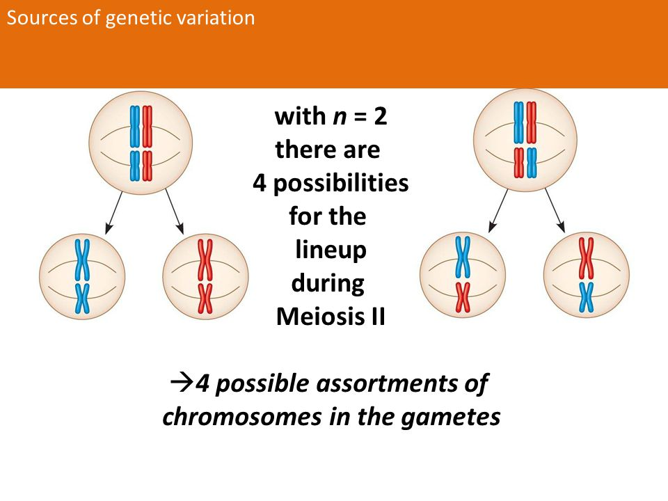 Mendel's Model: 4 related hypotheses 1.Alternative versions of heritable factors (i.e., alleles) account for variations in inherited characters 2.