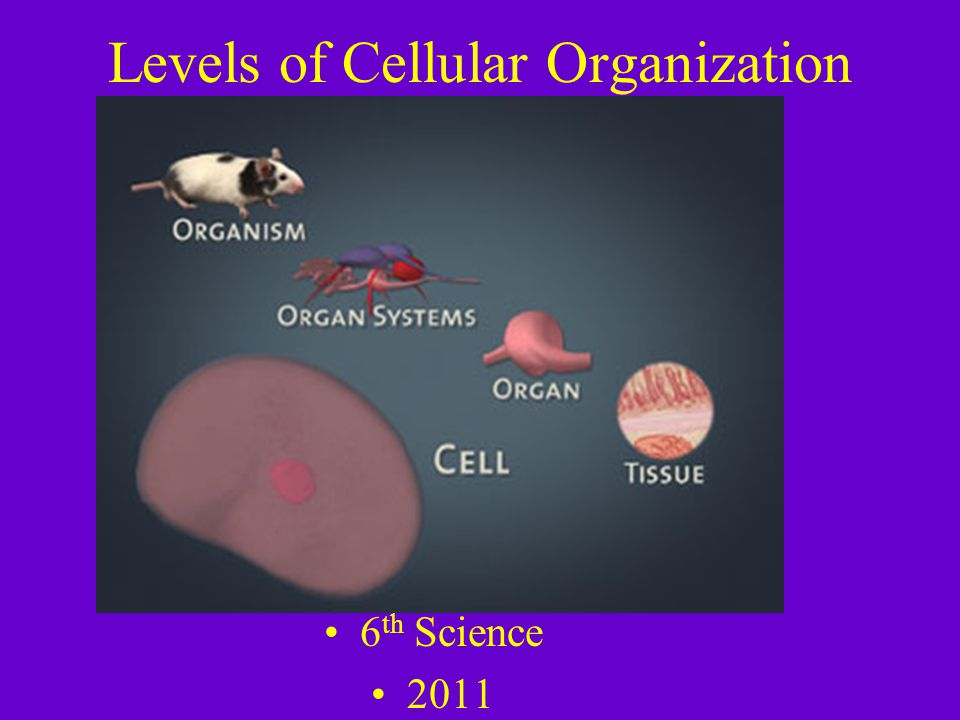 Reproductive System Function: Produces male and females sex cells Organs: testes and ovaries Tissues: smooth muscle Cell: smooth muscle cells
