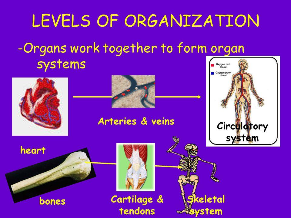 LEVELS OF ORGANIZATION -Organs work together to form organ systems heart Arteries & veins Circulatory system bones Cartilage & tendons Skeletal system