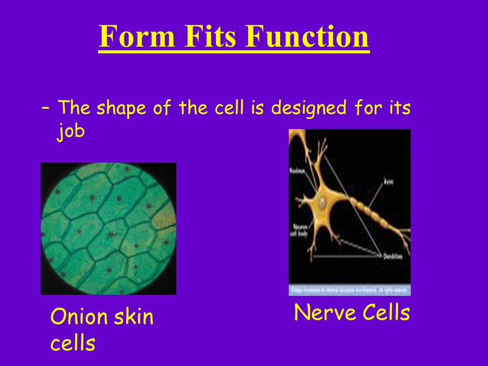 Form Fits Function –The shape of the cell is designed for its job Onion skin cells Nerve Cells
