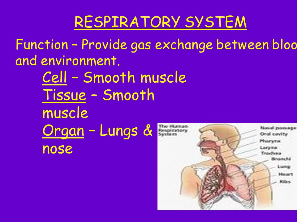 RESPIRATORY SYSTEM Function – Provide gas exchange between blood and environment. Cell – Smooth muscle Tissue – Smooth muscle Organ – Lungs & nose