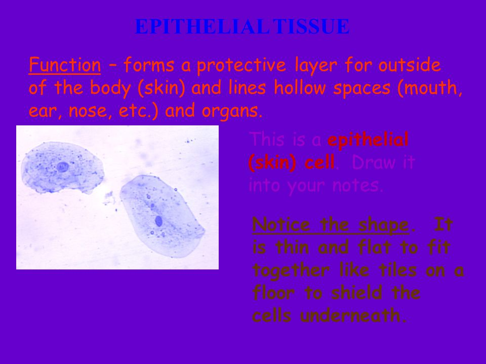 EPITHELIAL TISSUE Function – forms a protective layer for outside of the body (skin) and lines hollow spaces (mouth, ear, nose, etc.) and organs. This