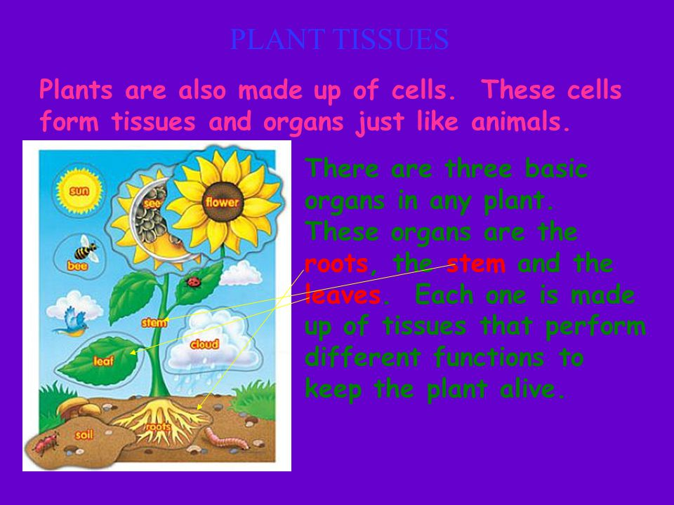 PLANT TISSUES Plants are also made up of cells. These cells form tissues and organs just like animals. There are three basic organs in any plant. Thes