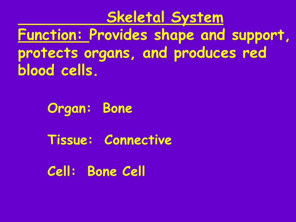 Skeletal System Function: Provides shape and support, protects organs, and produces red blood cells. Organ: Bone Tissue: Connective Cell: Bone Cell
