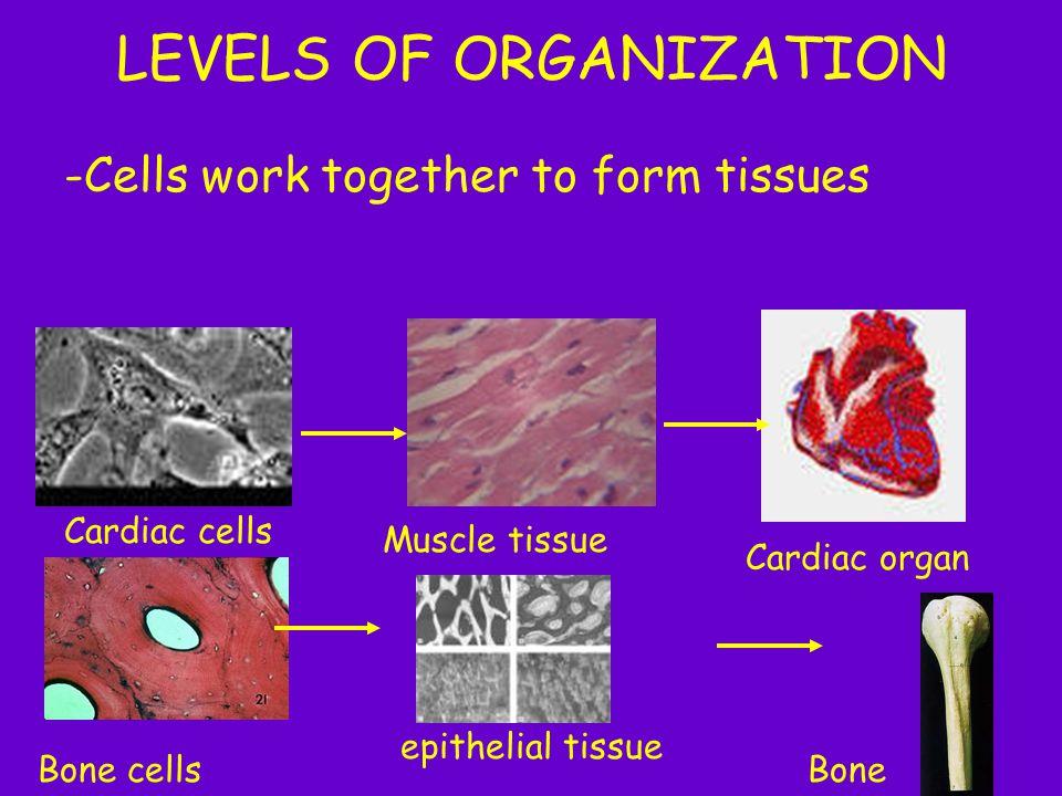 LEVELS OF ORGANIZATION -Cells work together to form tissues Cardiac organ Muscle tissue Cardiac cells Bone cells epithelial tissue Bone