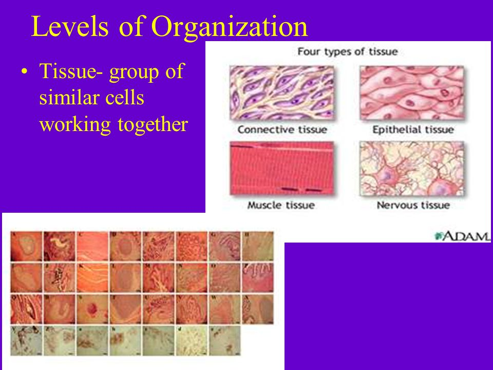 Levels of Organization Tissue- group of similar cells working together