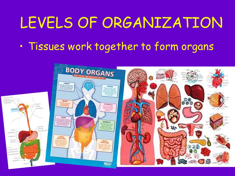 LEVELS OF ORGANIZATION Tissues work together to form organs