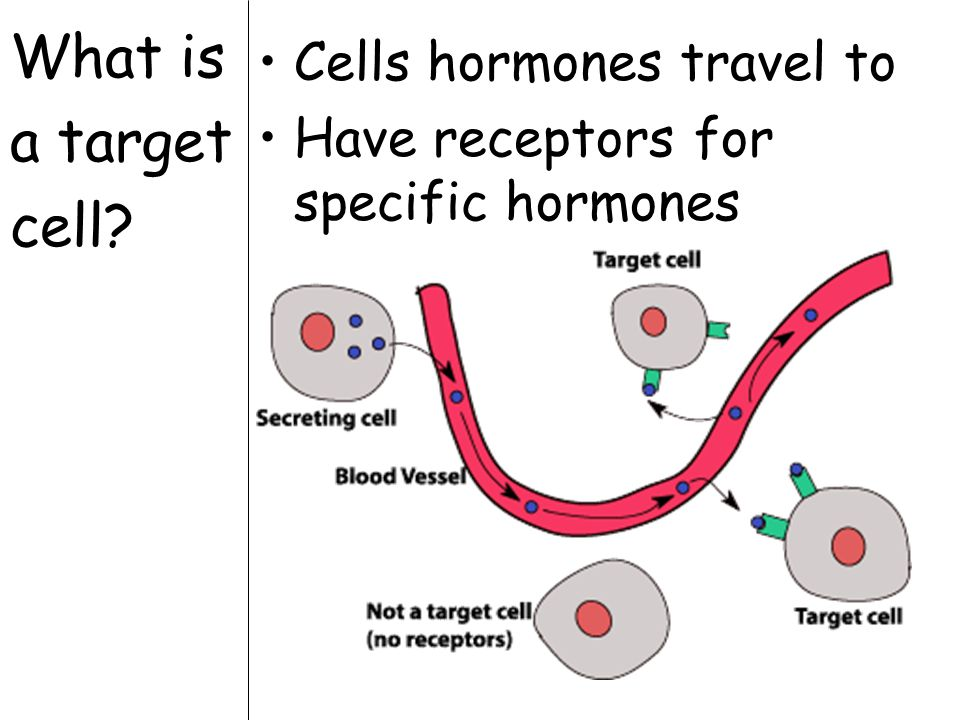 What is a target cell Cells hormones travel to Have receptors for specific hormones