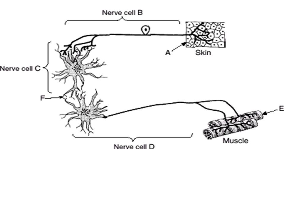 http://www.brainpop.com/health/bodysystem s/nervoussystem/ http://www.brainpop.com/health/bodysystem s/neurons/ http://www.brainpop.com/health/bodysystem s/brain/