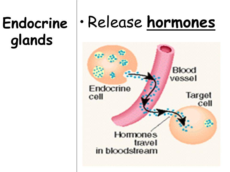 Endocrine glands Release hormones
