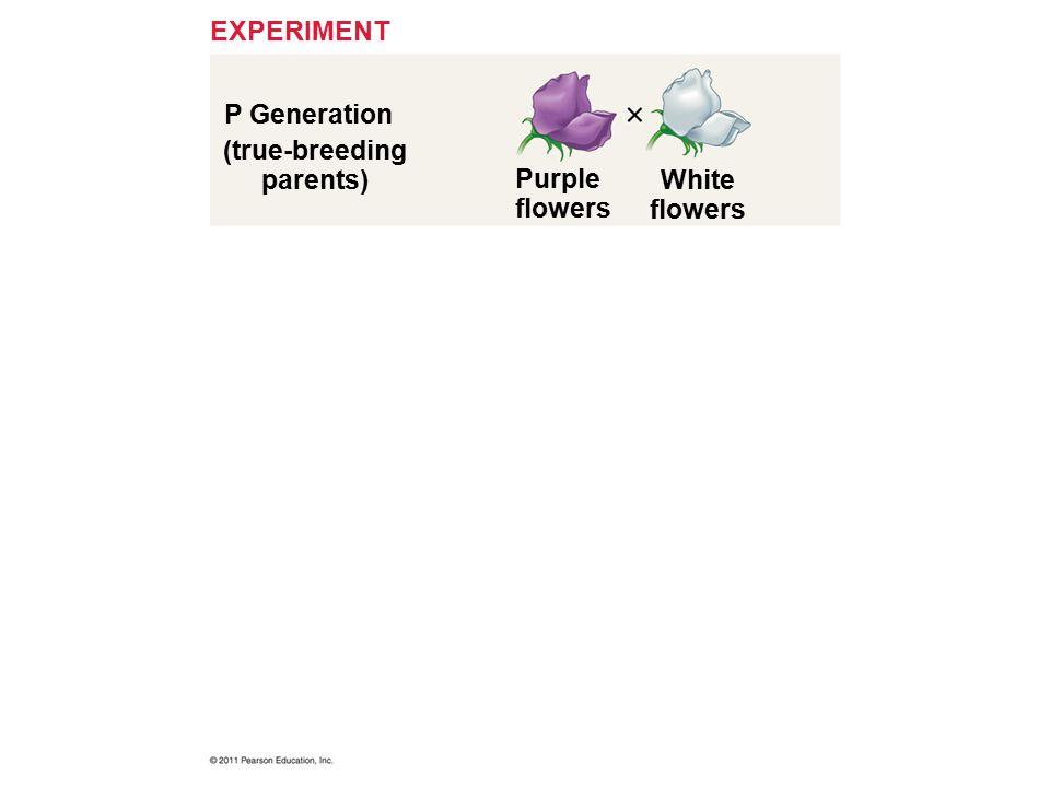 P Generation EXPERIMENT (true-breeding parents) Purple flowers White flowers