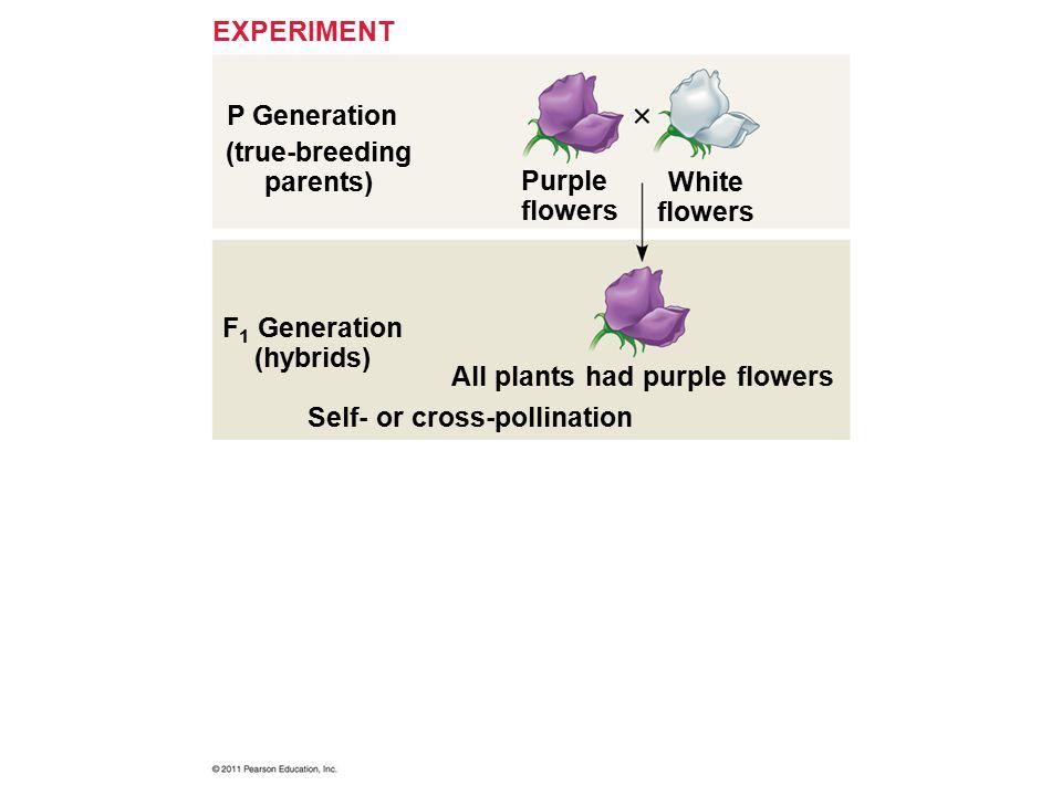 P Generation EXPERIMENT (true-breeding parents) F 1 Generation (hybrids) Purple flowers White flowers All plants had purple flowers Self- or cross-pol
