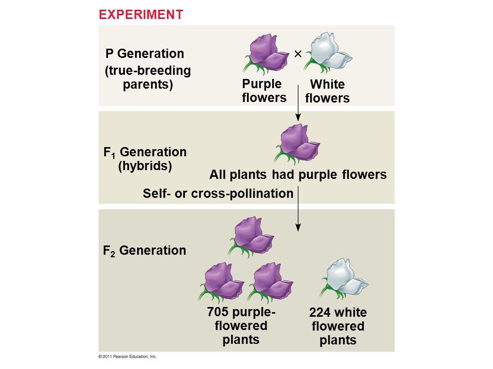 P Generation EXPERIMENT (true-breeding parents) F 1 Generation (hybrids) F 2 Generation Purple flowers White flowers All plants had purple flowers Sel