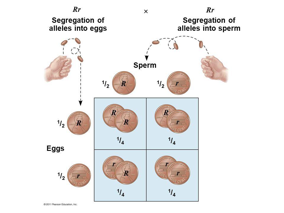 Segregation of alleles into eggs Segregation of alleles into sperm Sperm Eggs 1/21/2 1/21/2 1/21/2 1/21/2 1/41/4 1/41/4 1/41/4 1/41/4 Rr R R R R R R r