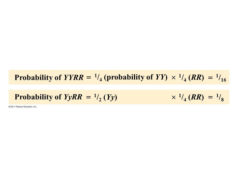 Probability of YYRR Probability of YyRR 1 / 4 (probability of YY) 1 / 2 (Yy) 1 / 4 (RR) 1 / 16 1/81/8      