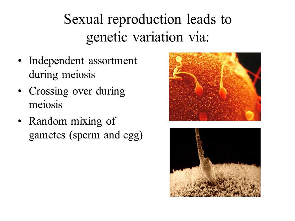 Phenotype Purple White 3 1 1 1 2 Ratio 3:1 Ratio 1:2:1 Genotype PP (homozygous) Pp (heterozygous) pp (homozygous)