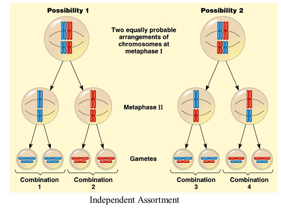 Prophase I of meiosis Nonsister chromatids held together during synapsis Pair of homologs Chiasma Centromere TEM Anaphase I Anaphase II Daughter cells Recombinant chromosomes