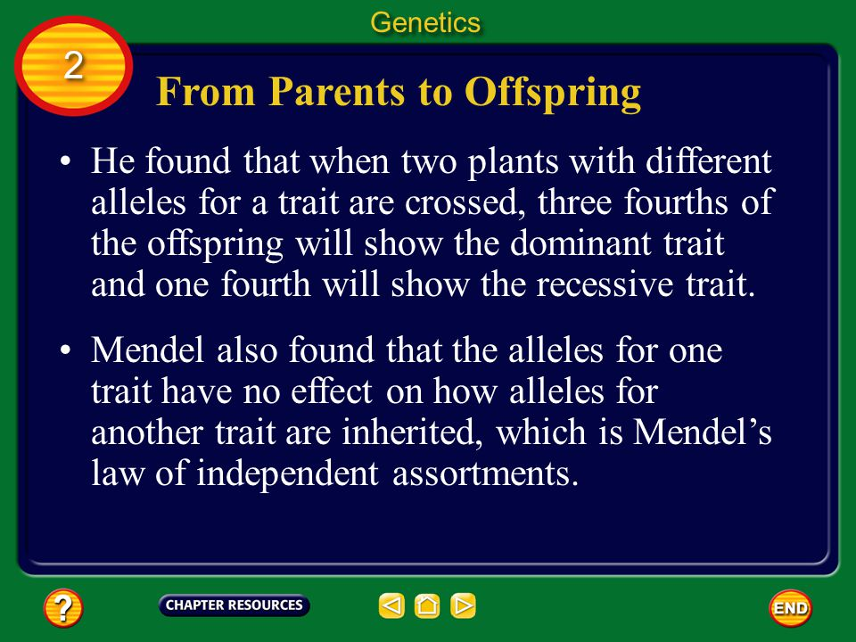 From Parents to Offspring Genetics 2 2 Mendes examined the inheritance of traits in pea plants.