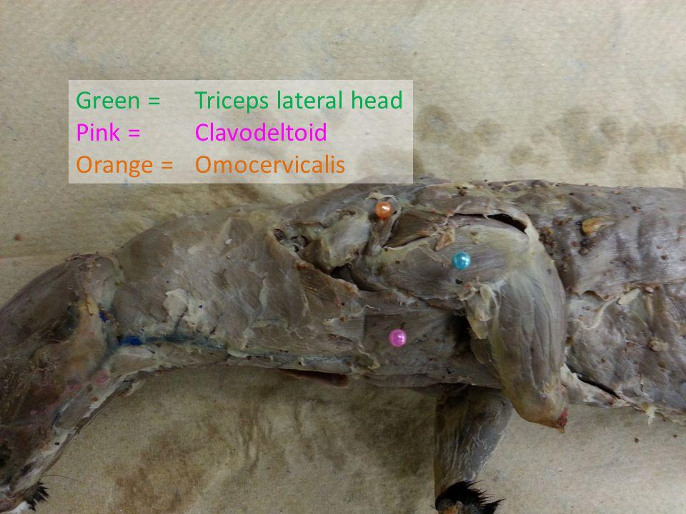 Green = Pink = Orange = Triceps lateral head Clavodeltoid Omocervicalis