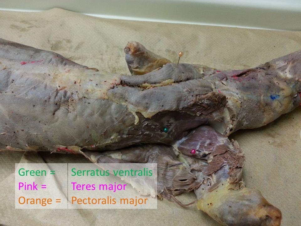 Green = Pink = Orange = Serratus ventralis Teres major Pectoralis major