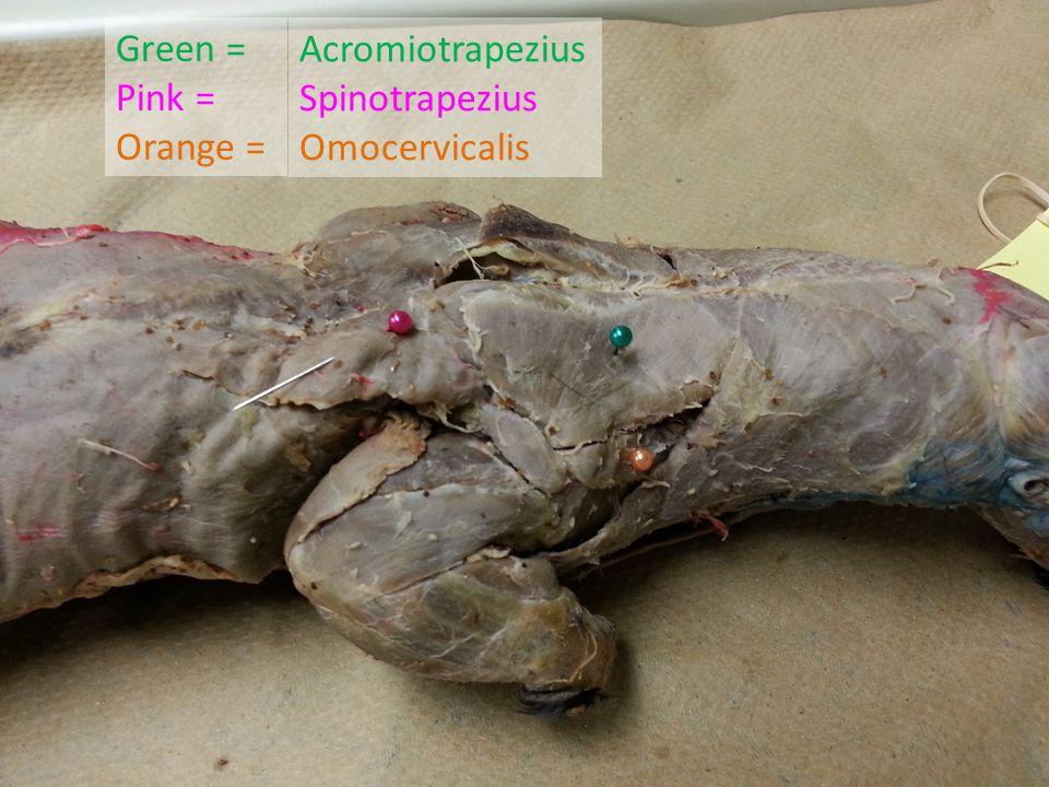 Green = Pink = Orange = Acromiotrapezius Spinotrapezius Omocervicalis