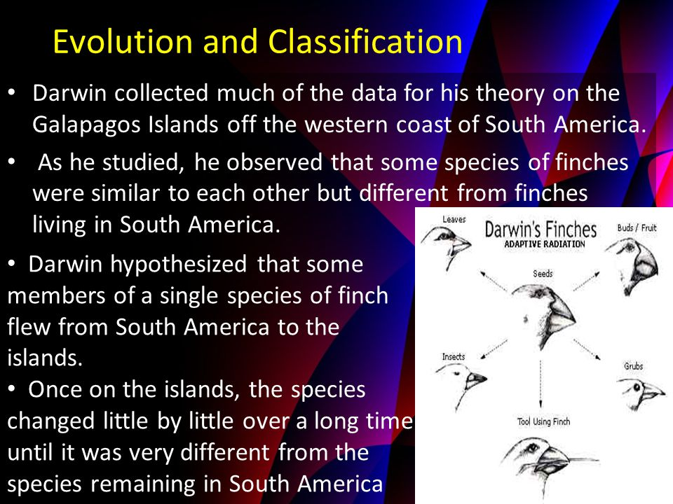 Darwin collected much of the data for his theory on the Galapagos Islands off the western coast of South America. As he studied, he observed that some