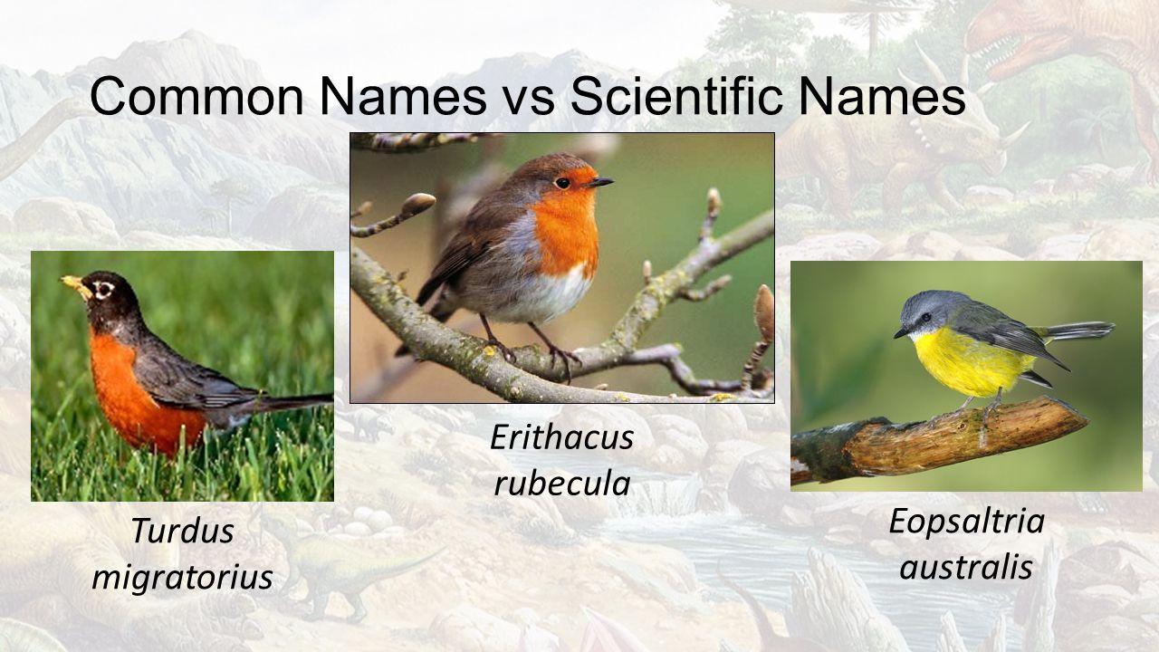 Common Names vs Scientific Names Turdus migratorius Erithacus rubecula Eopsaltria australis