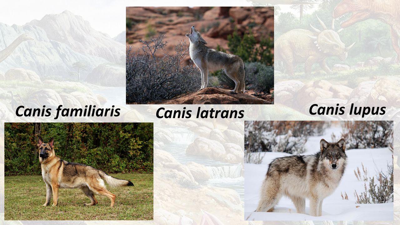 Canis familiaris Canis latrans Canis lupus