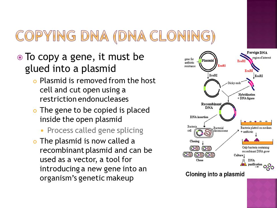  To copy a gene, it must be glued into a plasmid Plasmid is removed from the host cell and cut open using a restriction endonucleases The gene to be copied is placed inside the open plasmid Process called gene splicing The plasmid is now called a recombinant plasmid and can be used as a vector, a tool for introducing a new gene into an organism's genetic makeup