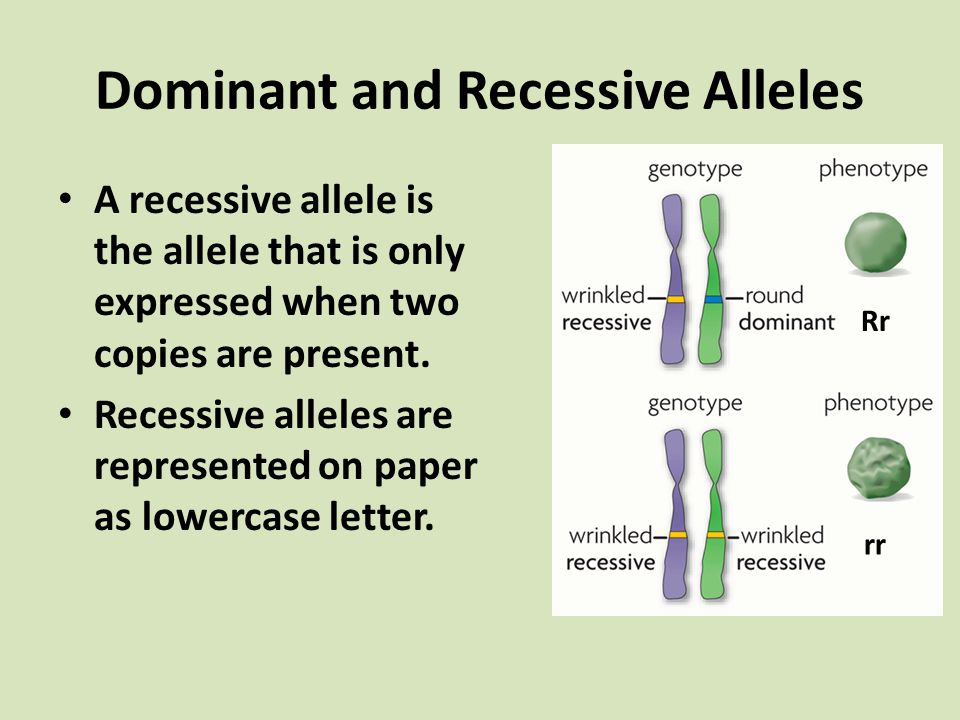 Dominant and Recessive Alleles A recessive allele is the allele that is only expressed when two copies are present. Recessive alleles are represented