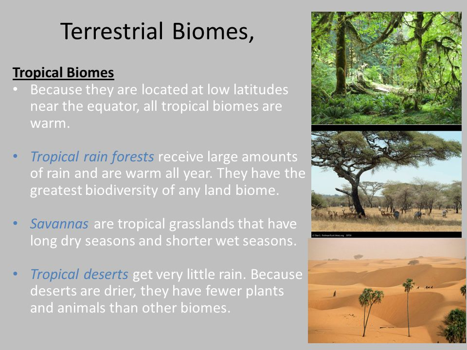 Terrestrial Biomes, Tropical Biomes Because they are located at low latitudes near the equator, all tropical biomes are warm. Tropical rain forests re