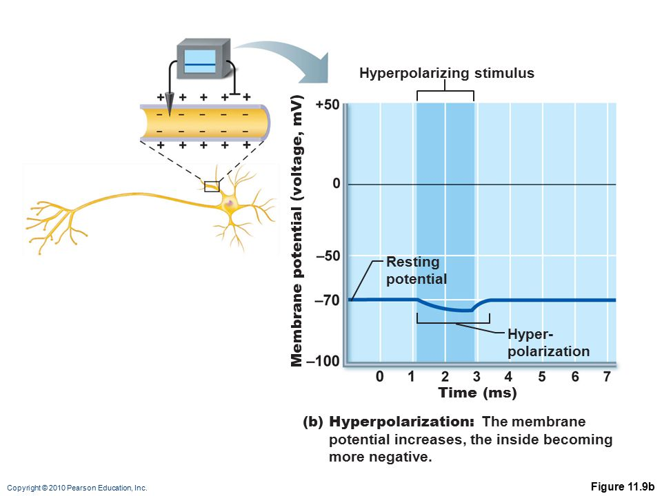 Copyright © 2010 Pearson Education, Inc. Figure 11.9b Hyperpolarizing stimulus Time (ms) Resting potential Hyper- polarization (b) Hyperpolarization: