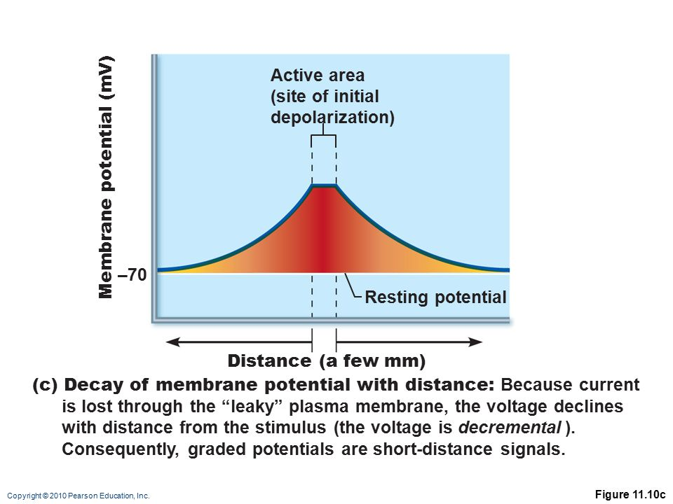 Copyright © 2010 Pearson Education, Inc. Figure 11.10c Distance (a few mm) –70 Resting potential Active area (site of initial depolarization) (c) Deca
