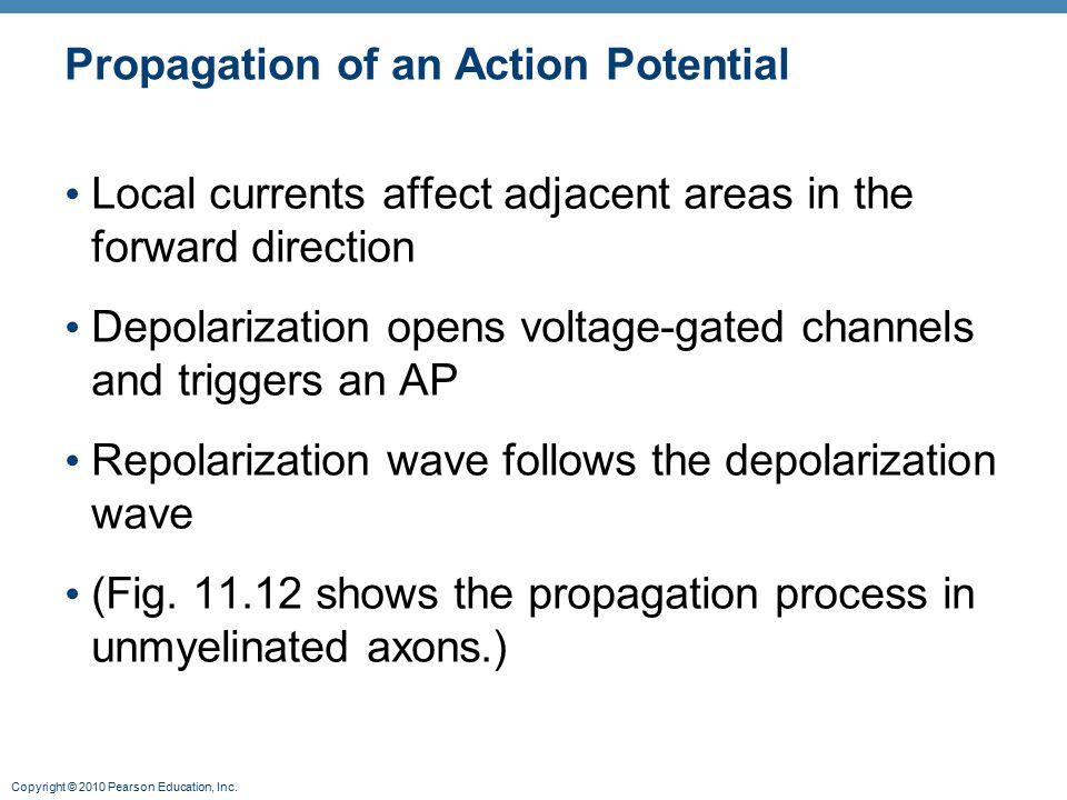 Copyright © 2010 Pearson Education, Inc. Propagation of an Action Potential Local currents affect adjacent areas in the forward direction Depolarizati