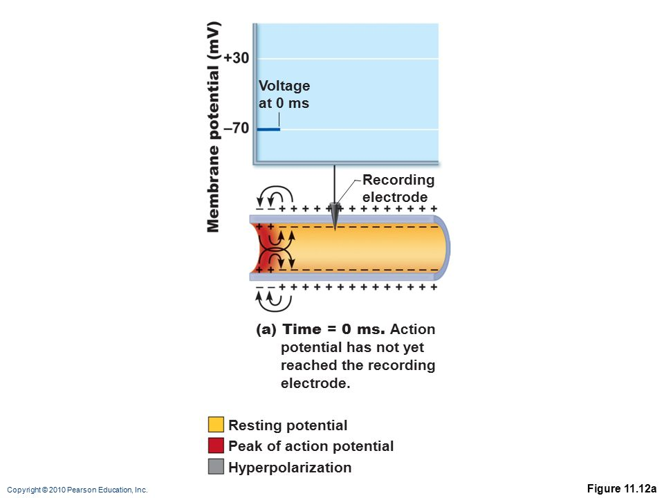 Copyright © 2010 Pearson Education, Inc. Figure 11.12a Voltage at 0 ms Recording electrode (a) Time = 0 ms. Action potential has not yet reached the r