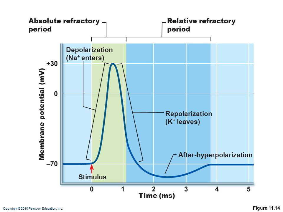 Copyright © 2010 Pearson Education, Inc. Figure 11.14 Stimulus Absolute refractory period Relative refractory period Time (ms) Depolarization (Na + en