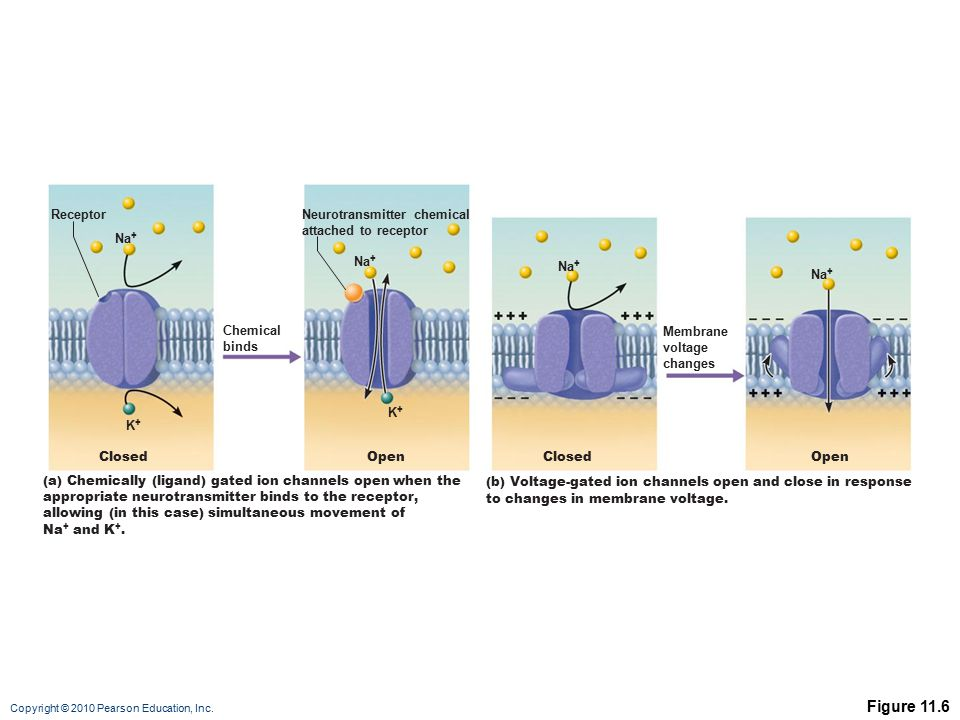 Copyright © 2010 Pearson Education, Inc. Figure 11.6 (b) Voltage-gated ion channels open and close in response to changes in membrane voltage. Na + Cl