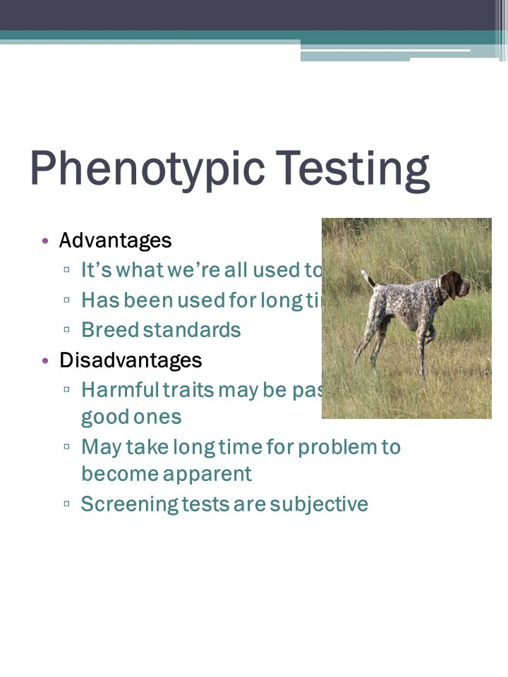 Phenotypic Testing Advantages ▫ It's what we're all used to ▫ Has been used for long time ▫ Breed standards Disadvantages ▫ Harmful traits may be passed along with good ones ▫ May take long time for problem to become apparent ▫ Screening tests are subjective