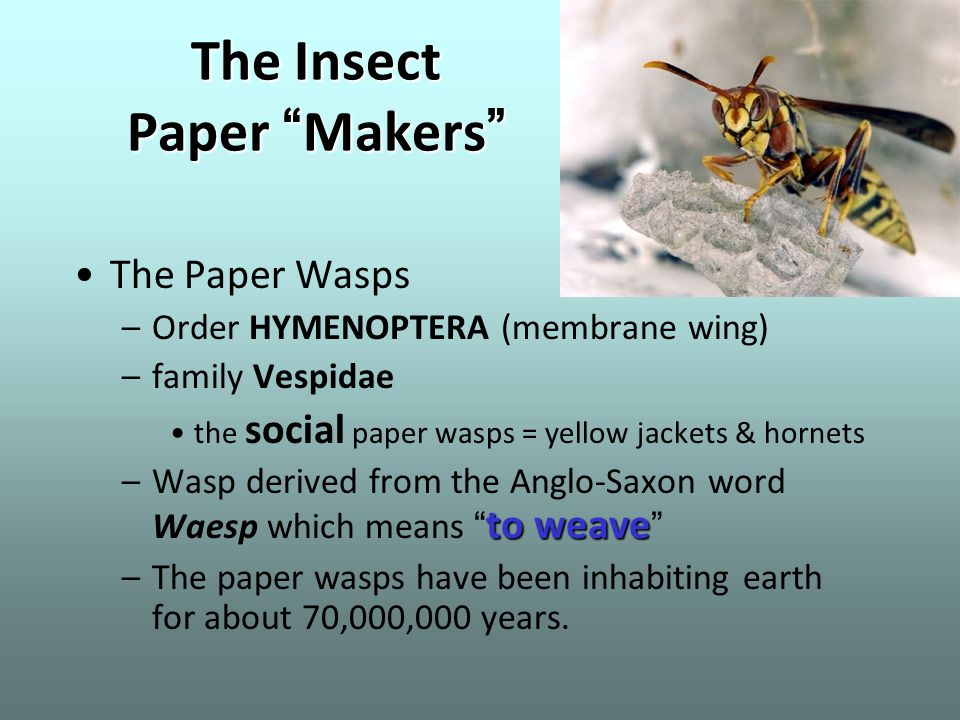 """The Insect Paper """" Makers """" The Paper Wasps –Order HYMENOPTERA (membrane wing) –family Vespidae the social paper wasps = yellow jackets & hornets to w"""