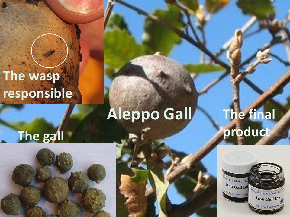 The gall Aleppo Gall The final product The wasp responsible