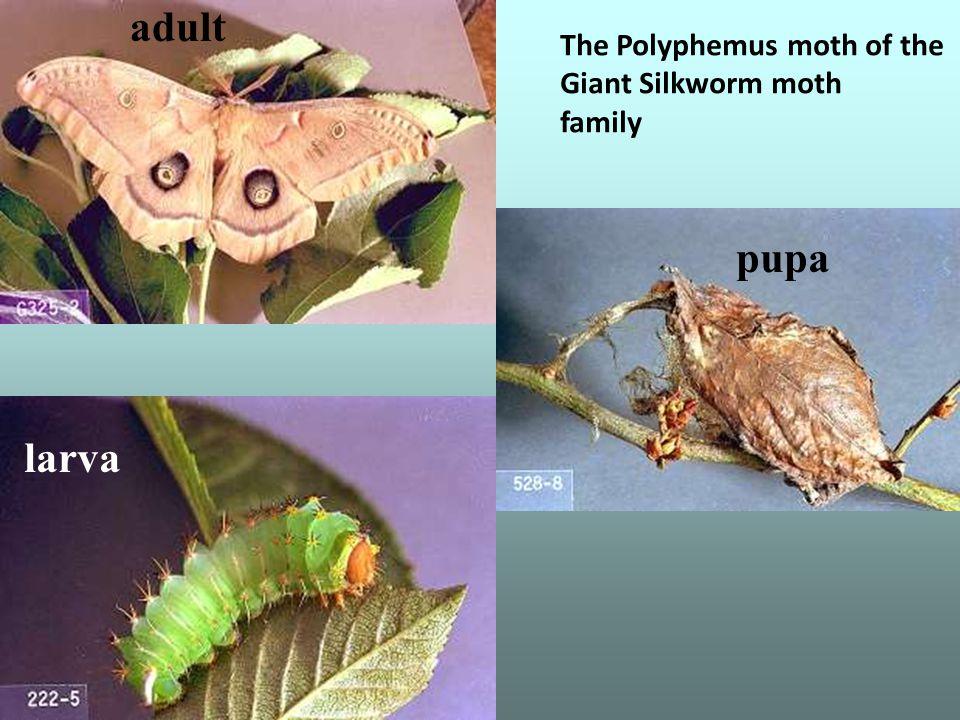 adult larva pupa The Polyphemus moth of the Giant Silkworm moth family