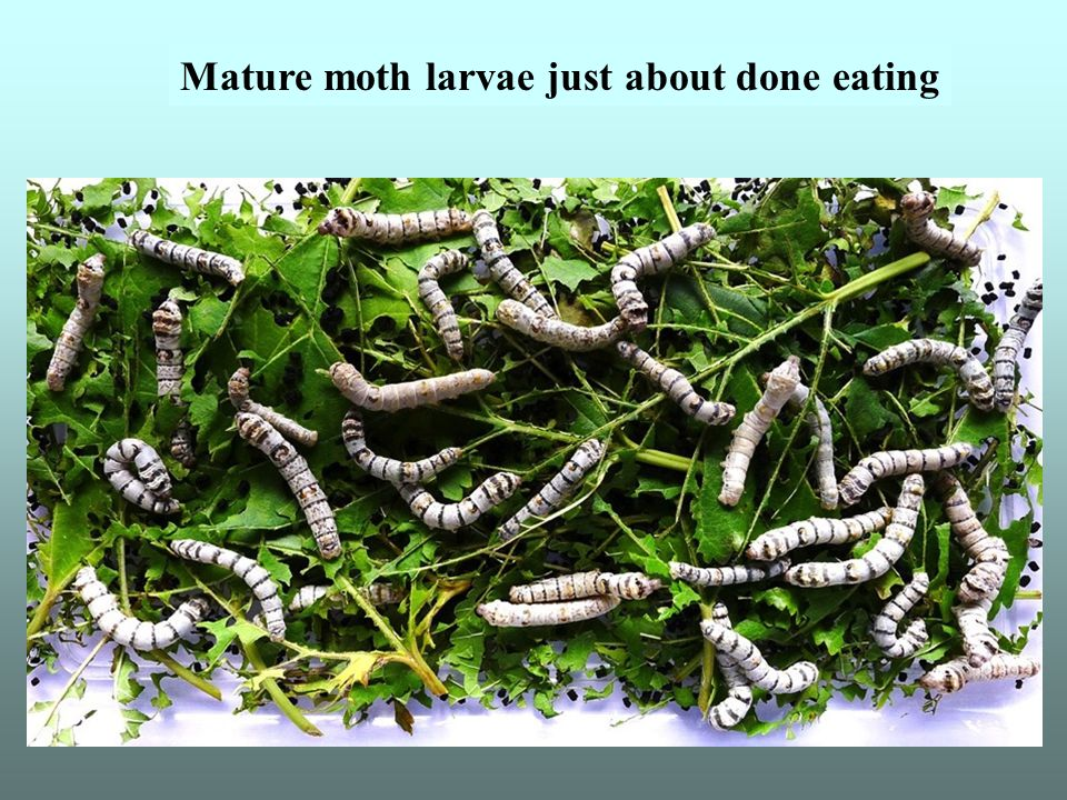 Mature moth larvae just about done eating