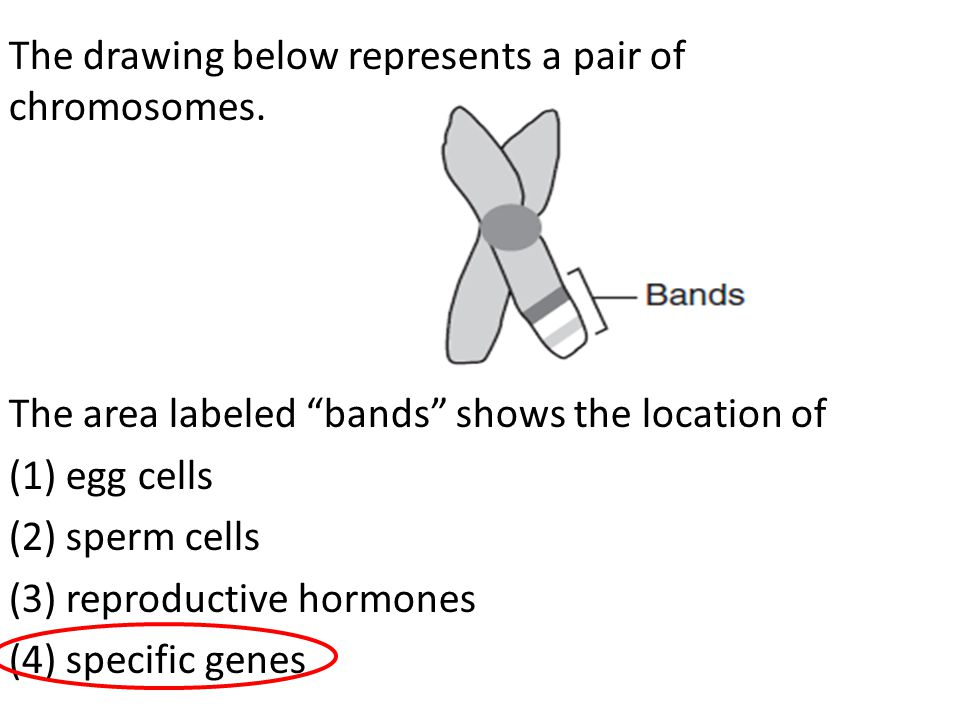 "The drawing below represents a pair of chromosomes. The area labeled ""bands"" shows the location of (1) egg cells (2) sperm cells (3) reproductive horm"