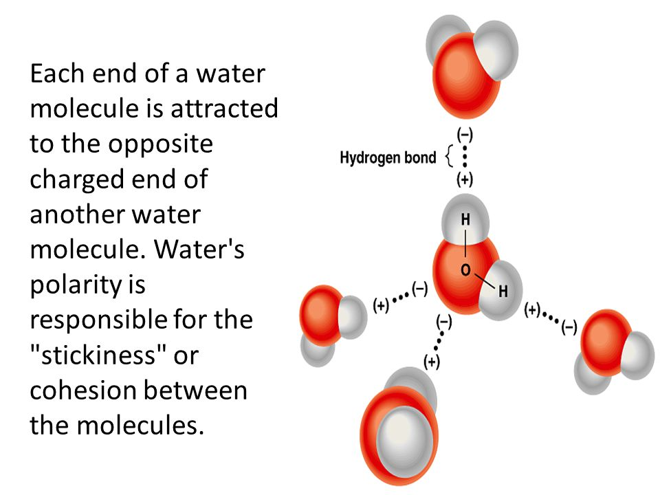 Each end of a water molecule is attracted to the opposite charged end of another water molecule.