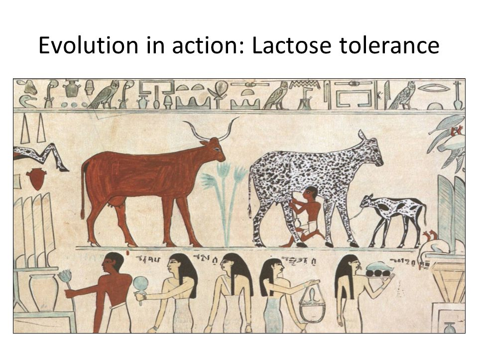Evolution in action: Lactose tolerance